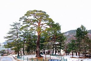 우리나라에서 가장 널리 사용된 목재 소나무