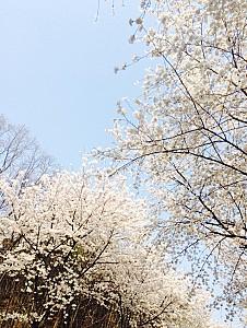 벚꽃 나들이하기 좋은 평택 은혜로
