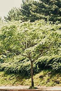 무늬결이 아름답고 견고한 목재 느티나무