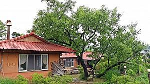수령 600년 진안 주천면 무릉리 대추나무에 얽힌 설화
