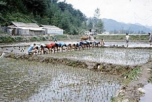 물을 가둔 논에 농사를 짓는 논농사