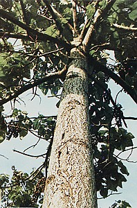 습기를 조절하는 목재 오동나무
